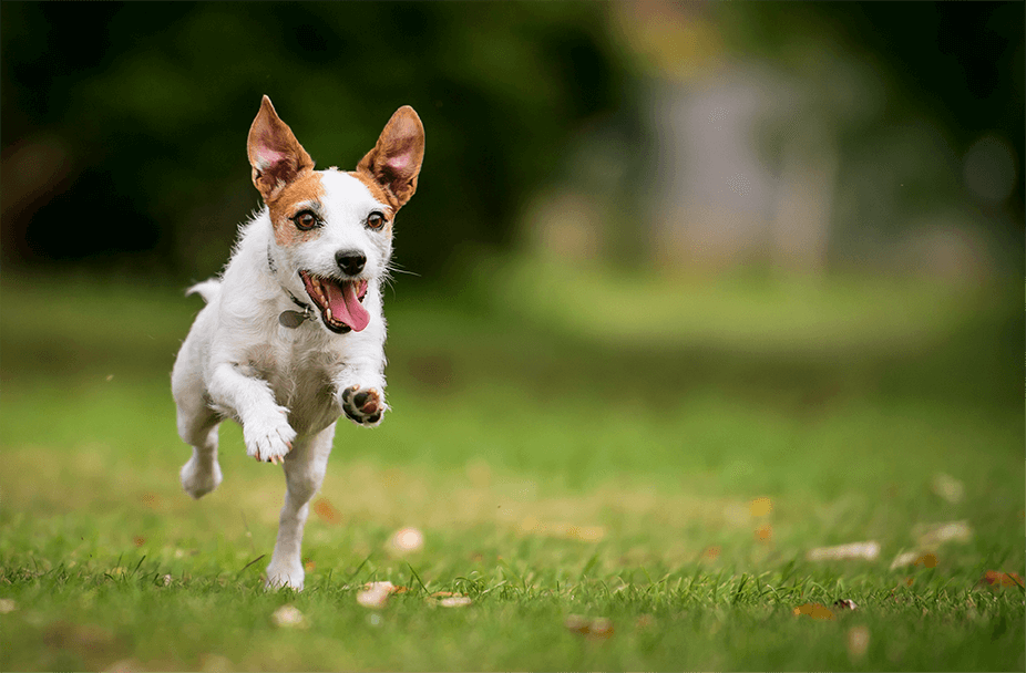 little dog with tongue sticking out in mid-air jumping on grass lawn